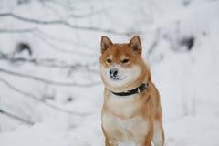 Cão do inu de Shiba que joga na neve Fotografia de Stock Royalty Free