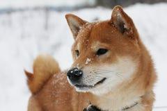 Cão do inu de Shiba que joga na neve Fotos de Stock Royalty Free
