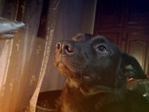Cão do Kelpie Imagens de Stock