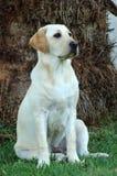 Cão do laboratório Fotografia de Stock Royalty Free