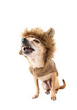 Cão do leão fotografia de stock