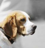 Cão do lebreiro foto de stock royalty free