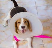 Cão do lebreiro Fotografia de Stock