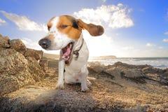 Cão do lebreiro Fotografia de Stock Royalty Free