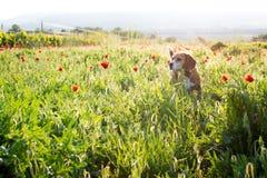 Cão do lebreiro em flores selvagens da mola Papoilas entre o vinhedo no por do sol Foto de Stock