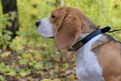 Cão do lebreiro em um fundo da floresta do outono Foto de Stock