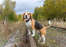 Cão do lebreiro em um fundo da floresta do outono Fotos de Stock
