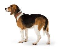 Cão do lebreiro isolado Imagem de Stock Royalty Free