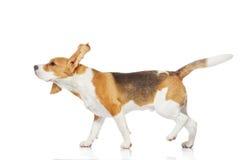 Cão do lebreiro isolado no fundo branco. fotos de stock royalty free