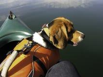 Cão do lebreiro na canoa com revestimento de vida fotografia de stock
