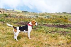 Cão do lebreiro na natureza foto de stock
