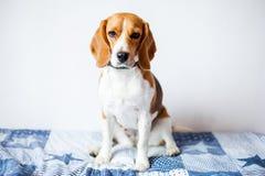 Cão do lebreiro no fundo branco em casa na cama Fotos de Stock Royalty Free