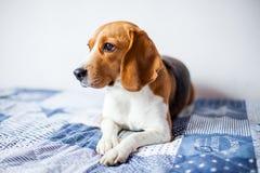 Cão do lebreiro no fundo branco em casa na cama Imagem de Stock