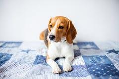 Cão do lebreiro no fundo branco em casa na cama Imagens de Stock