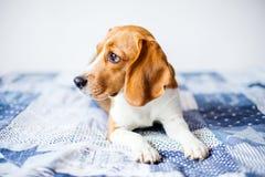 Cão do lebreiro no fundo branco em casa na cama Fotografia de Stock