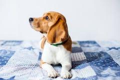 Cão do lebreiro no fundo branco em casa na cama Foto de Stock