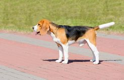 Cão do lebreiro no perfil Foto de Stock
