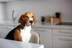Cão do lebreiro do puro-sangue imagens de stock royalty free
