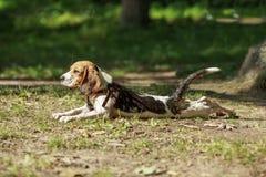 Cão do lebreiro que encontra-se na grama Basking no sol Fotografia de Stock