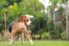 Cão do lebreiro que olha alerta no ciclo do cio Fotografia de Stock Royalty Free