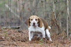 Cão do lebreiro que pooping Fotografia de Stock