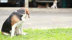 Cão do lebreiro que procura algo filme