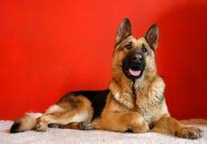 Cão do lobo foto de stock