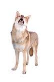 Cão do lobo de Saarloos Imagem de Stock