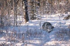 Cão do lobo na floresta nevado do inverno fotos de stock royalty free