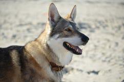Cão do lobo na praia Fotografia de Stock