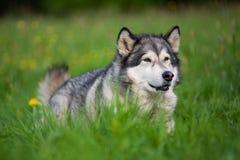 Cão do Malamute do Alasca fotos de stock royalty free