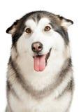 Cão do Malamute de Alaska Fotografia de Stock Royalty Free