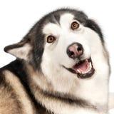 Cão do Malamute de Alaska fotos de stock