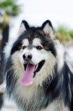 Cão do malamute do Alasca fotografia de stock royalty free