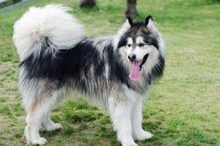 Cão do malamute do Alasca Fotografia de Stock