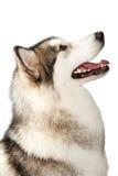 Cão do malamute do Alasca imagens de stock royalty free