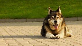 Cão do Malamute que coloca no concreto Imagens de Stock