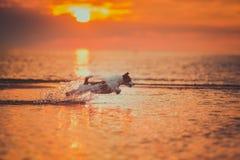 Cão do mar Salto, por do sol, fogo Imagens de Stock