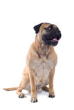Cão do mastiff de Bull foto de stock royalty free