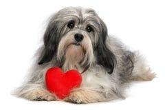 Cão do menino de Havanese do Valentim do amante Fotografia de Stock Royalty Free