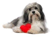 Cão do menino de Havanese do Valentim do amante Imagem de Stock