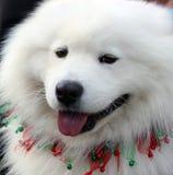 Cão do Natal do Samoyed Imagens de Stock Royalty Free