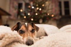 Cão do Natal - Jack Russell Terrier está encontrando-se em uma cesta imagem de stock royalty free