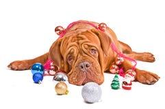 Cão do Natal que olha a câmera Imagem de Stock