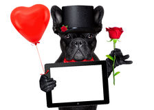 Cão do noivo dos Valentim Fotos de Stock Royalty Free