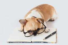 Cão do oficial da chihuahua Foto de Stock