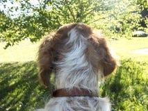 Cão do ombro Imagens de Stock Royalty Free