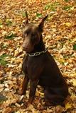 Cão do outono Fotos de Stock