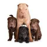 Cão do pei de Shar com seus cachorrinhos fotografia de stock royalty free