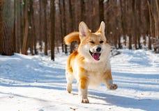 Cão do Pembroke do Corgi de Galês foto de stock royalty free